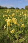 We have a magnificant crop of Cowslips_26-04-2015